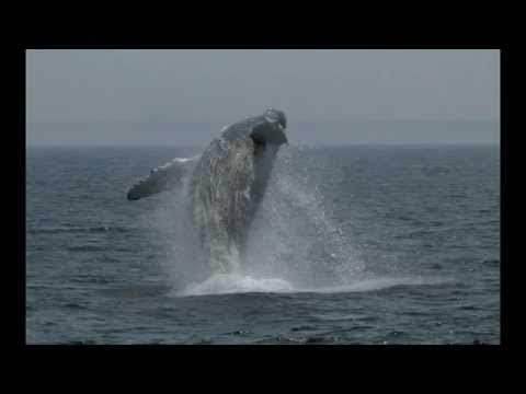 c3d1af2e233 Cape Cod Whale Watching - YouTube