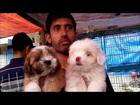 so-cute-adorable-lhasa-apso-puppies-for-sale-at-galiff-street-pet-market-kolkata