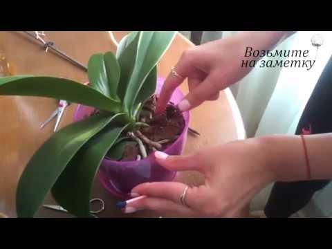 Как обрезать засохший цветонос орхидеи - уход за цветами фаленопсиса.