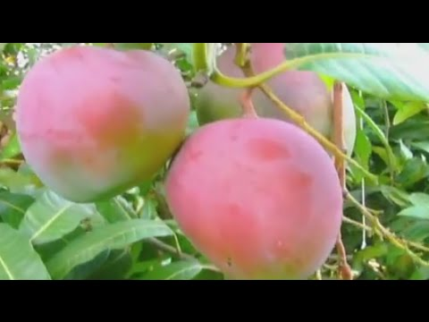 How to Grow Mango Fruit - TvAgro by Juan Gonzalo Angel