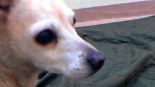 Meet Snuggles A Chihuahua Short Coat Currently Available For Adoption At Petango.com! 3/21/2012 1:5