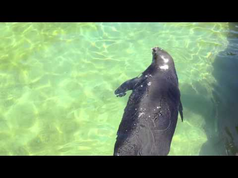 Waikiki Aquarium: Hawaiian Monk Seal
