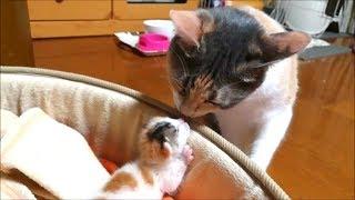 子猫赤ちゃん保護 赤ちゃんと接近先住猫寧々