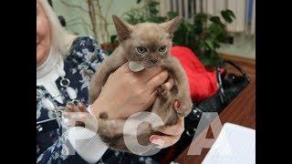 Презентация бурманских котят питомника кошек PCA РУБИСЕТ