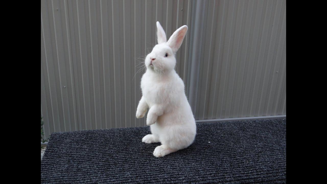 Кролики ВЕНСКИЙ ГОЛУБОЙ - YouTube