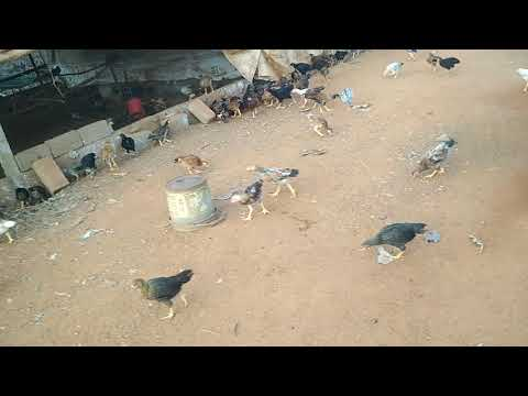 Baixar SB poultry farms - Download SB poultry farms | DL Músicas