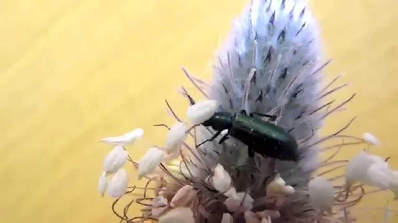 video erección masculina con mosca