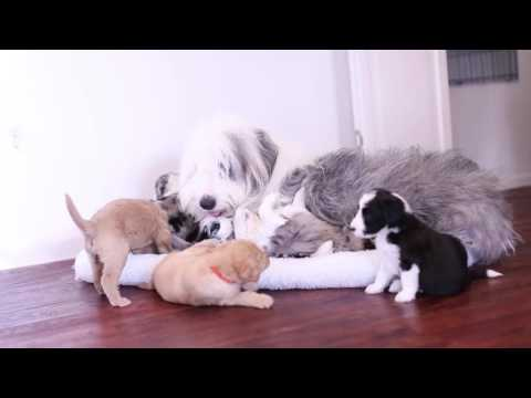 Aussiedoodle & Labradoodle puppies- Playtime with Indie