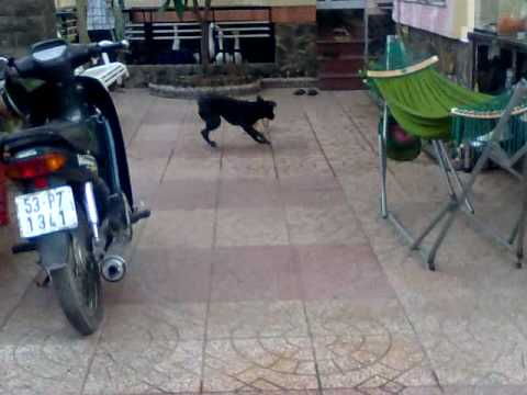 Chó Phú Quốc - HaL - www.MayTinhSaiGon.com - (08) 22 39 28 35