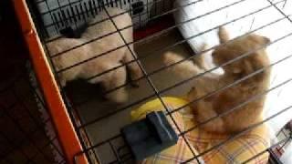 我が家の愛犬同士の喧嘩です。 パンチ、ヒップアタック、フェイント、な...
