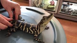 Домашний крокодильчик. Чешет крокодила. Смешные животные