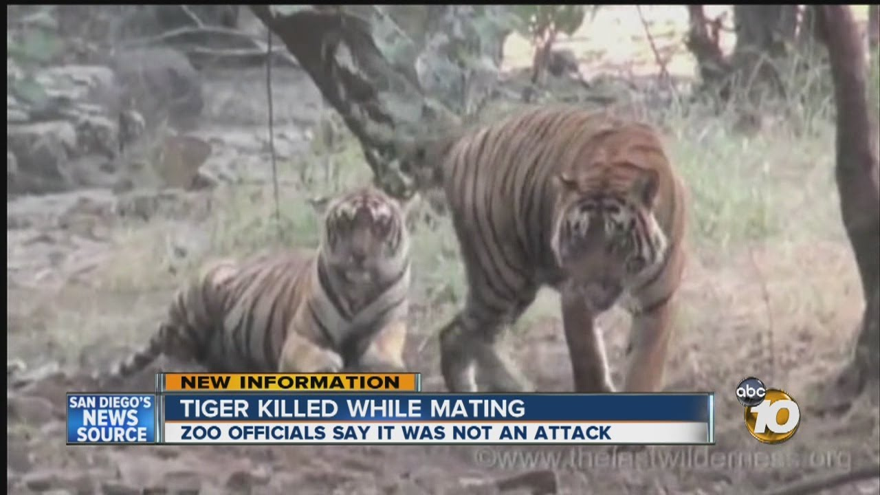 Female tiger killed while mating at San Diego Zoo ...