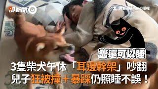 3柴犬「耳邊幹架」吵翻 兒子午休被暴踩仍照睡不誤|寵物|狗|睡覺