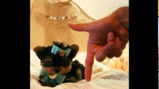 Teacup Yorkie Puppy For Sale In West Palm Beach
