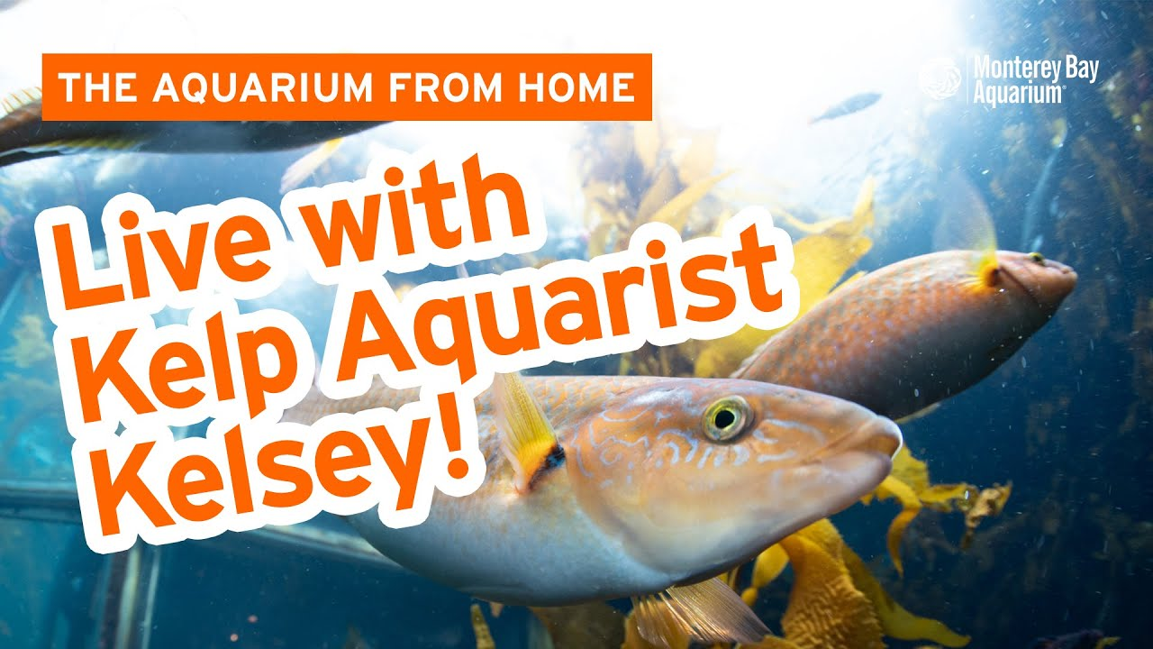 Live chat with Aquarist Kelsey and the Kelp Cam! | The ...