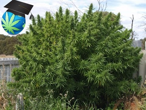 How Much Cannabis (Marijuana) Can One Plant Yield?