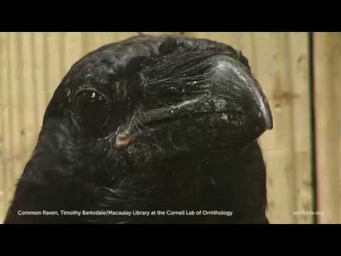 Common Raven | American Bird Conservancy