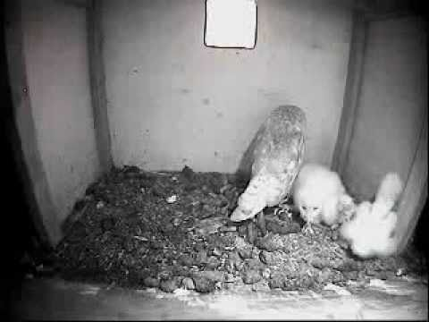 Barn Owl Trust Live Webcam: Owlets stretching their legs ...