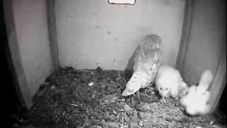 Barn Owl Trust Live Webcam: Owlets Stretching Their Legs