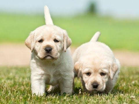 Cute Little Puppies Wallpapers Labrador Retrievers Potty Training Labrador Retrievers