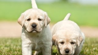 Labrador Retrievers: Potty Training Labrador Retrievers  - Free Mini Course Labrador Retrievers