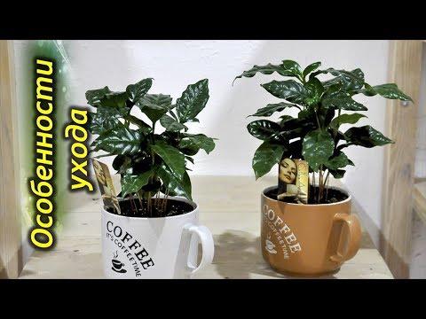 Кофейное дерево – секреты выращивания в домашних условиях.