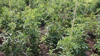 Интересный опыт! Посадка томатов в траншею