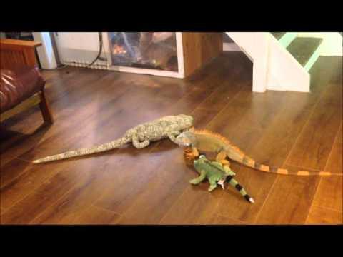 iguana vs toy