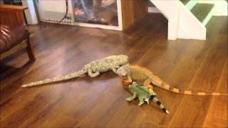 Video iguana vs toy download MP3, 3GP, MP4, WEBM, AVI, FLV September 2017