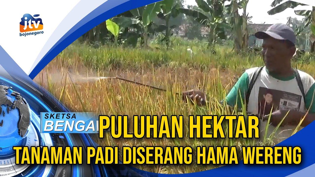 Puluhan Hektar Tanaman Padi Diserang Hama Wereng Youtube