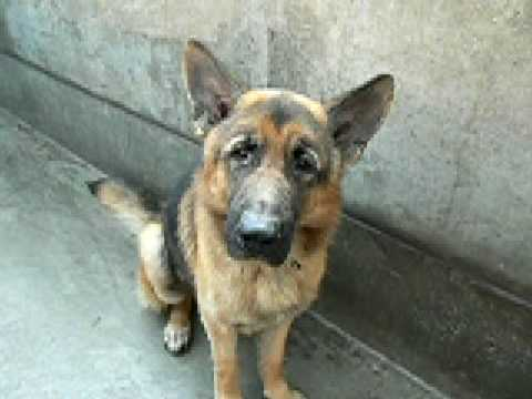 Rescued By German Shepherd Rescue Of Orange County