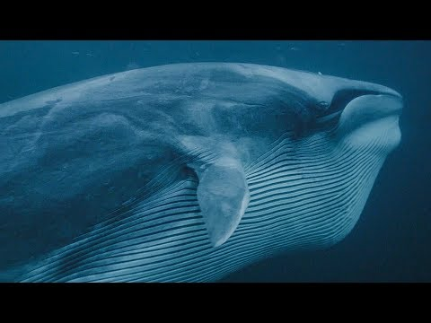 Whales and Orcas Feed Together   BBC Earth