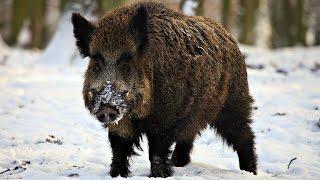 Зимняя охота на кабана в HD