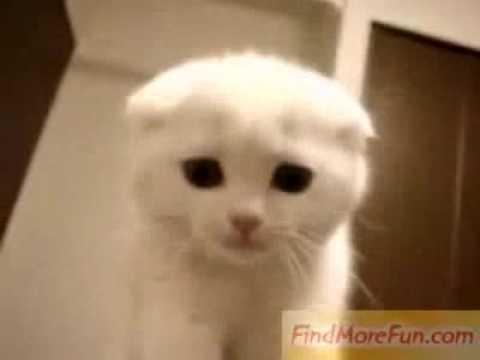 super cute white kitty youtube