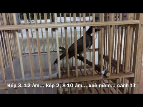 Nổ kép 2,3 -Kênh về chim Chào mào của Triệu Triệu