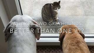 Why TWO greyhounds are better than ONE