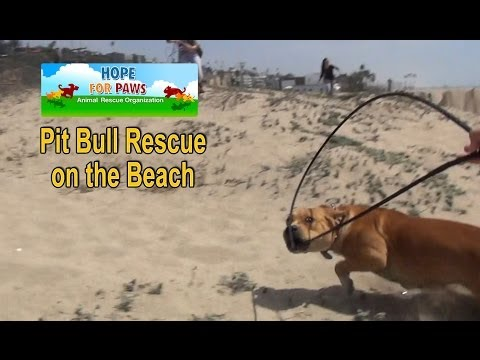 Pit Bull rescue on the beach + a surprise guest star.  Please share.