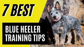 7 Blue Heeler Puppy Training Tips  Australian Cattle Dog Training