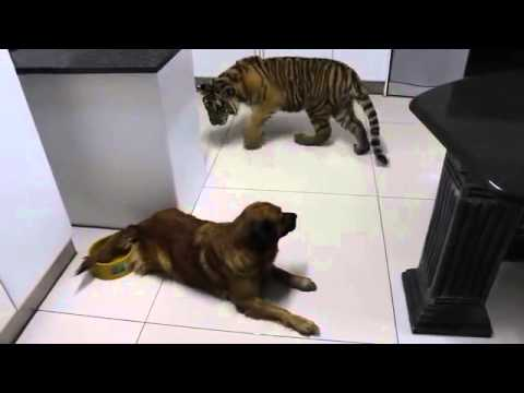 A dog tries to mark his territory against ... a tiger!
