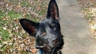 Judd   5 Month German Shepherd   Tulsa OK Obeience Board & Train