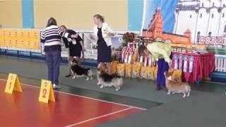 вельш корги пемброк видео с выставки собак