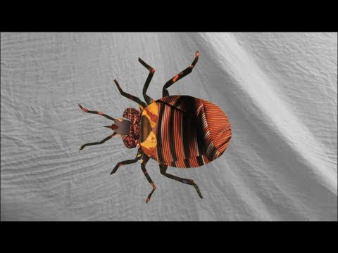 The Definitive Guide to Bedbug Sex | Smart News | Smithsonian