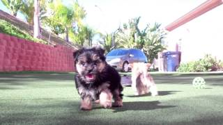 """Parti Color Carrier Yorkshire Terrier """"lennox"""" Plays With Cavachon """"kennedy"""" And Mokrie """"s'mores"""""""
