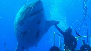 Biggest Great White Shark Ever - Shocking Footage