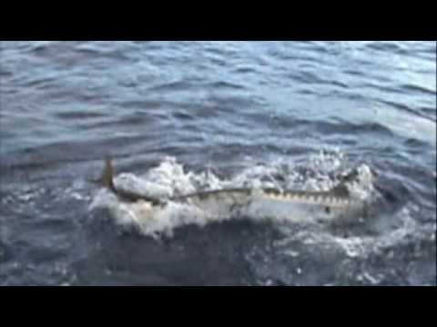 Barracuda Attack