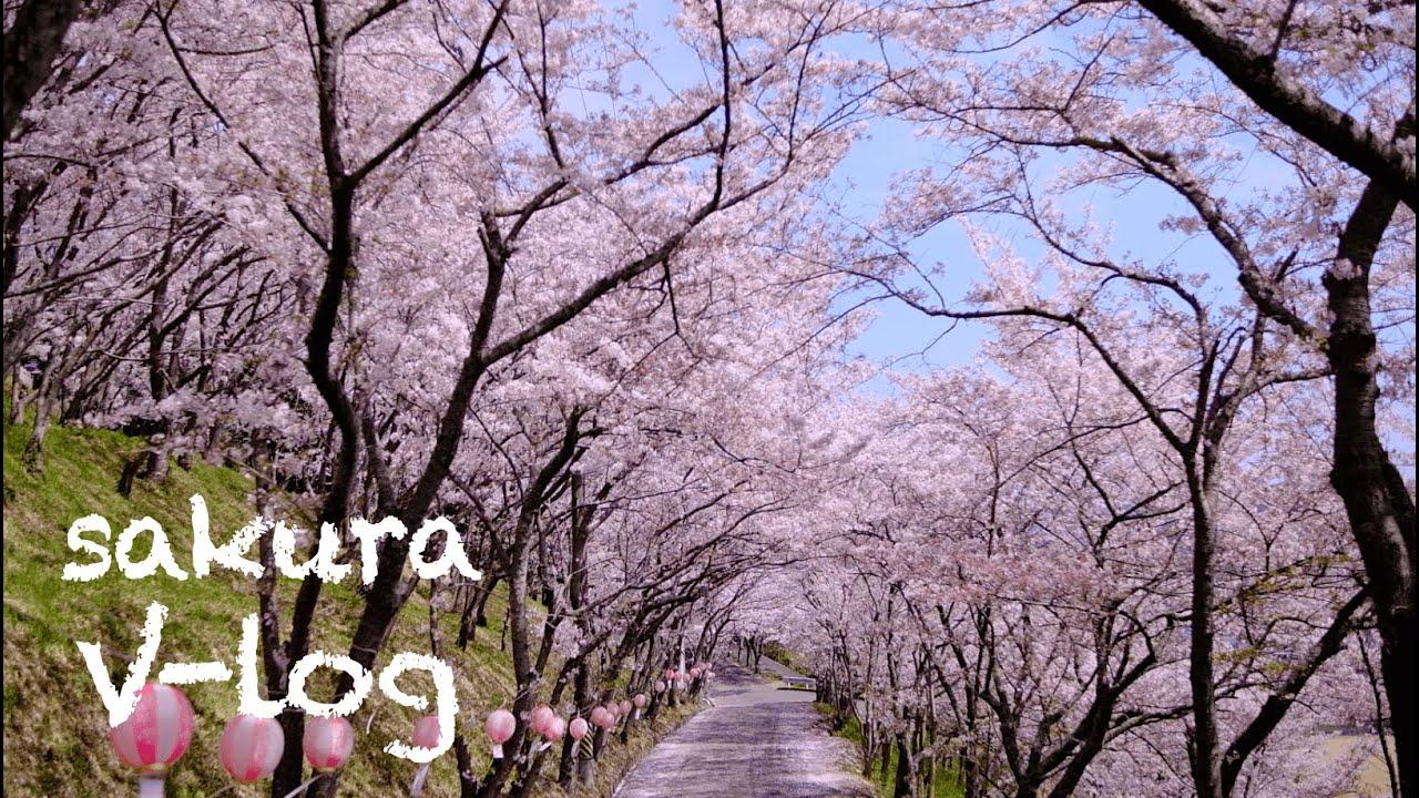 【花見Vlog】広島県福山市神辺町日枝神社/桜Cherry Blossoms