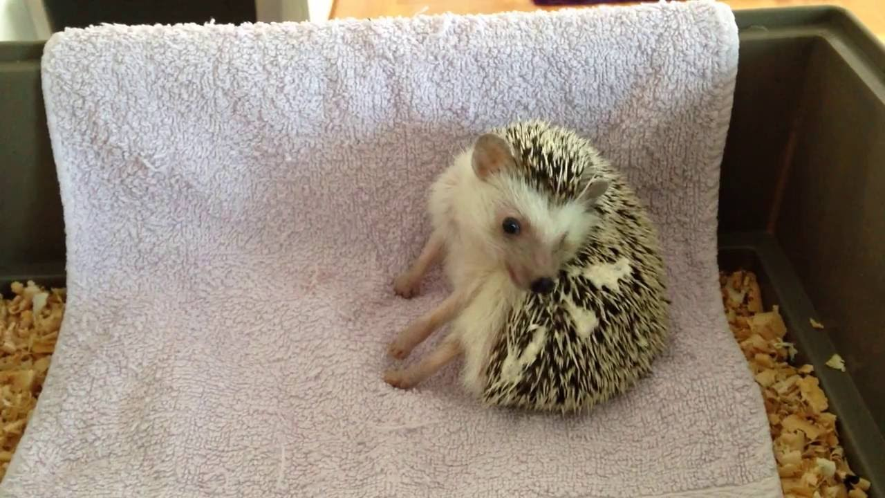 hedgehog selfanointing youtube
