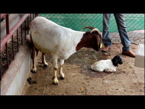 Indrayani Goat Farm Boer Female giving birth