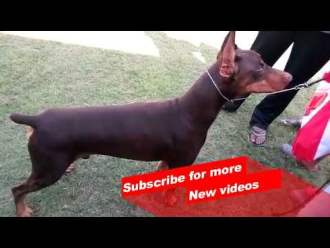 Wow ! Most Amazing dog breeds worldwide | Doberman pinscher |