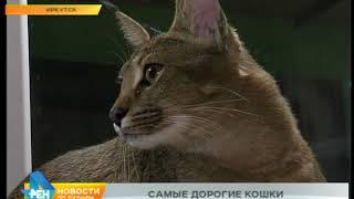 В зоогалерее Иркутска появились представители самой редкой и дорогой породы кошек в России